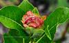 "33.Willow ""Rose"" on Salix Barklayi 2011.7.23#313. Fish Creek near Summit Lake, Eastern Alaska Range, Alaska."