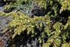 18.Juniperus communis 2007.6.14#0161. Common Juniper. Sheep Mountain, Alaska.