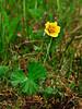 53.Geum calthifolium 2010.7.7#002. Caltha leaf Avens. In a moist high mountain meadow. Turnagain Pass, Kenai Peninsula, Alaska.