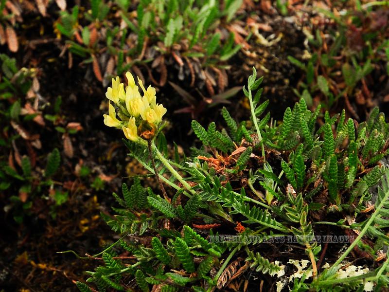 54.Oxytropis maydelliana 2010.6.30#175. The Maydell's Oxytrope. The Healy Range east side of Savage Canyon, Denali Park Alaska.