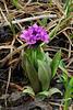 71.Primula eximia 2008.6.30#031. The Arctic Primrose. Primrose Ridge, Denali Park Alaska.