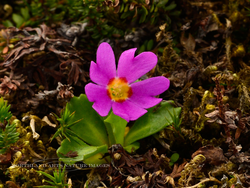 71.Primula cuneifolia 2013.7.16#041. The Pixie Eye Primrose. Thompson Pass, Richardson highway Alaska.