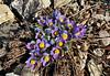 46.Pulsatiila patens, the Pasque Flower. A harbinger of spring in Alaska. Anchorage Alaska. #429.019. 2x3 ratio format.