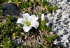 43.Minuartia macrocarpa 2006.7.5#0120. Commonly called Arctic Sandwort. Usually found on higher slopes in dry rocky  or sandy areas. Gulkana Glacier Alaska.
