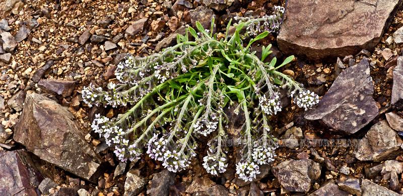 49.Smelowskia borealis 2008.6.29#174. Thoro Ridge, Denali Park Alaska.