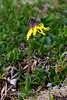 89.Arnica Lessingii 2012.6.30#003. Lessings Arnica, found on many alpine slopes and ridge tops. Primrose Ridge, Denali Park Alaska.