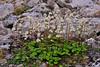 52.Saxifraga punctata,nelsoniana 2012.7.12#080. The Cordate-leaved Saxifrage. Phillip Smith mountains, Brooks Range, Alaska.