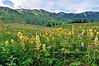 80.Castilleja unalaschensis 2010.7.22#093.3. Coastal Paintbrush in Turnagain Pass Alaska.