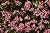69.Loiseleuria procumbens 2005.6.13#0023. The Alpine Azalea. Mile 13, Denali highway, Eastern Alaska Range, Alaska.
