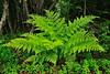13.Dryopteris dilatata, the Wood Fern. Willow Creek, Alaska. #629.035. 3x4 ratio format.