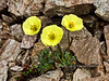 47.Papaver alaskanum 2014.6.29#298. The Alaska Poppy. N.E. side Mount Healy, Alaska Range Alaska.
