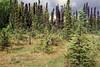 17.Picea mariana 2000.6.29#27. Black Spruce. Near Chulitna, Alaska Range, Alaska.