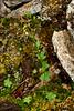 52.Saxifraga cernua 2014.6.28#094. The Bulblet Saxifrage. West side Savage Canyon, Denali Park Alaska.