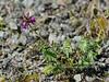 54.Oxytropis deflexa, maybe sericea 2014.6.22#22. A type of Locoweed. Mile 147, Glenn highway,  Nelchina Basin, Alaska.