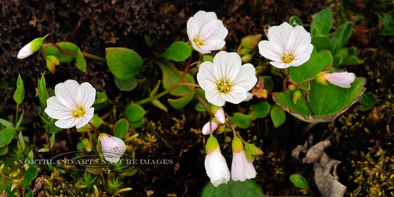 42.Claytonia sarmentosa 2011.7.12#100. The Spring Beauty. Phillip Smith Mountains, Brooks Range, Alaska.