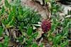 89.Artemisia globularia. The Purple Wormwood. Alaska Range, Alaska. #629.354.
