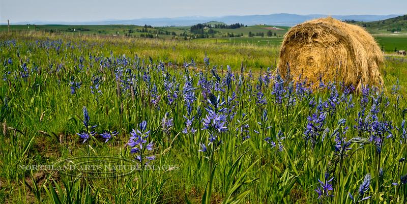 ID-F-Camassia Quamash 2014.5.15#020. Camas Lilly. Camas Prairie, near Grangeville Idaho.