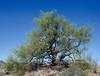 AZ-TS-Parkinsonia microphylla 2021.5.11#6978.3. Foothill Palo Verde. South side of Yarnell Mountain Arizona.