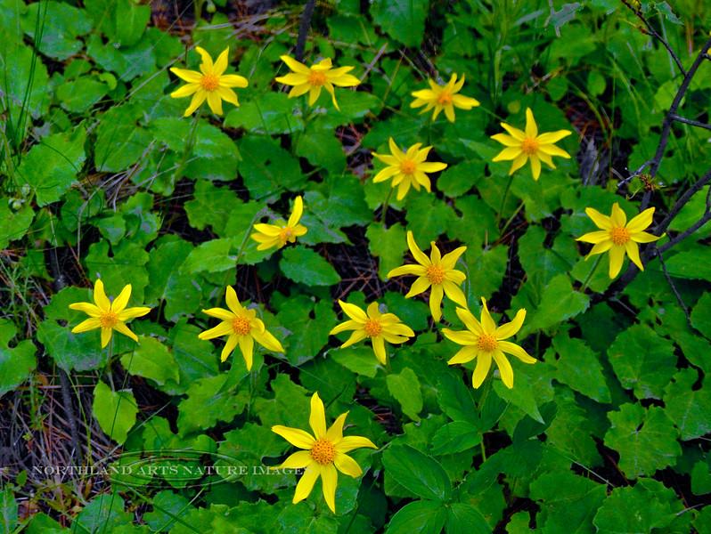 MT-F-Arnica cordifolia 2015.5.16#038. The Heartleaf Arnica. Nat. Bison Range, Mission Valley Montana.