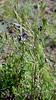 WY-F-Clematis hirsutissima 2019.6.20#1652, Sugarbowl. Mount Washburn, Yellowstone Park Wyoming.