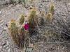 AZ-CTS-Echinocereus Engelmannii 2018.4.19#092. The Engelmann's Hedgehog cactus. Near lake Pleasant, Maricopa County Arizona.