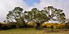 HI-TS-Koa trees 2015.2.6#280. Keanakolu Road,Mauna Kea, Hawaii.