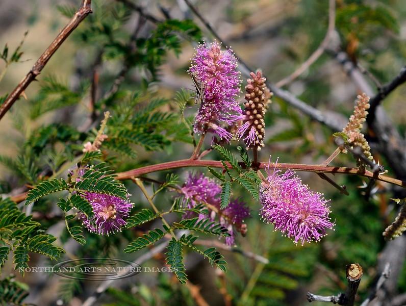 AZ-TS-Mimosa dysocarpa 2018.5.20#015, the Velvetpod Mimosa. Another bush that needs respect like the wait-a minute bush. Madera Canyon Arizona.