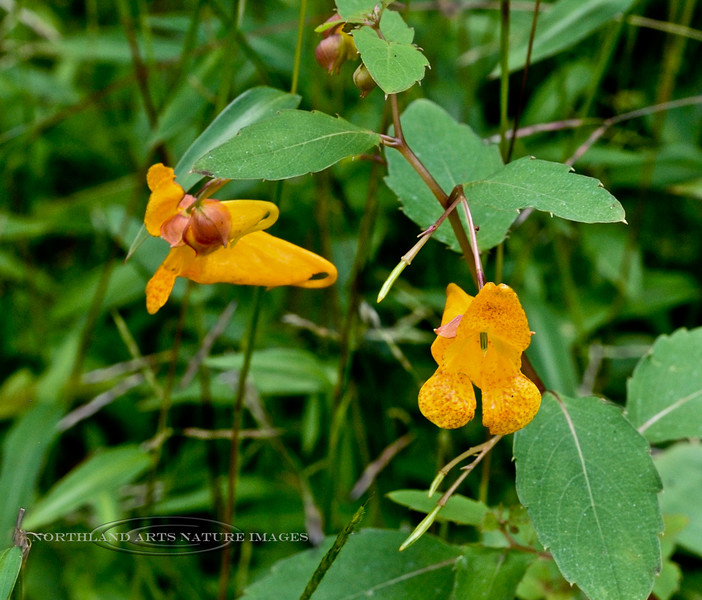 PA-F-Impatiens capensis 2020.9.14#0372.3. Jewelweed, or Spotted Touch-Me-Not. Lower Tinicum Township, Bucks County Pennsylvania.