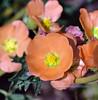 "AZ-F-Sphaeralcea species 2019.4.1#087, the ""Apricot"" Desert Globemallow. Lake Roosevelt Arizona."
