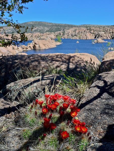 AZ-CTS-Echinocereus coccineus 2020.4.27#0478.4. Claret Cup or Scarlet Hedgehog cactus. Watson Lake, in the Prescott Dells, Arizona.