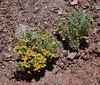 AZ-TS-Atriplex hymenelytra 2020.3.5#7518.3. Desert Holly showing their strange bracteoles. Not far north of Yuma Arizona.