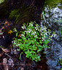 PA-F-Cardamine bulbosa 2016.5.2#598.5. Spring Cress. Falls Creek,Bridgeton Township, Bucks County Pennsylvania.