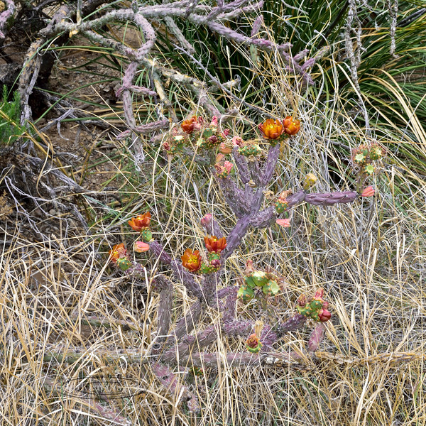 AZ-CTS-Cylindropuntia versicolor 2018.5.1#367. The Staghorn Cholla. Saguaro West NP, Pima County Arizona.
