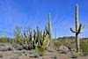 AZ-CTS-Stenocereus therberi 2019.3.5#087, the Organ Pipe Cactus. Organ Pipe Cactus NM, Arizona.