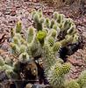 AZ-CTS-Cylindropuntia bigelovii 2020.5.22#3054.4. A fresh flower bloom on  a Teddy Bear Cholla. On a hill near Route 71 north of Aguila Arizona