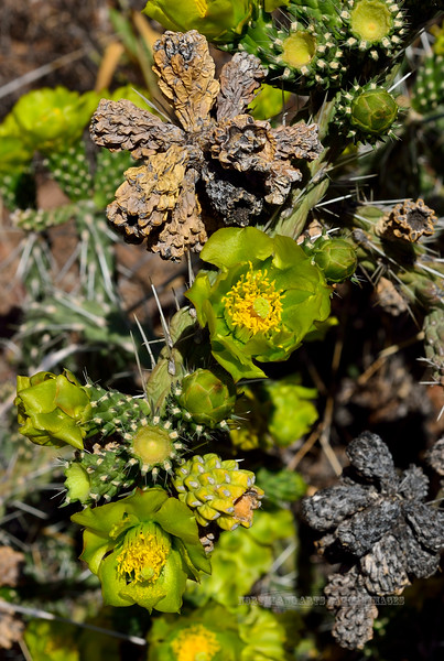 AZ-CTS-Cylindropuntia Whipplei 2018.5.13#025. The Whipple Cholla blooming. Near Jerome, Yavapai County Arizona.
