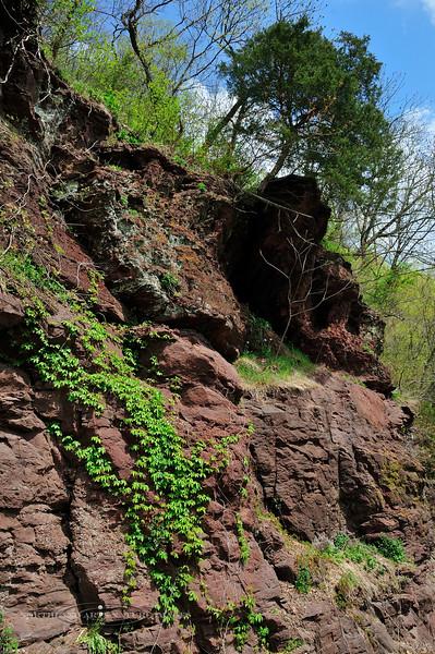 NJ-TS-Parthenocissus quinquefolia 2008.4.21#118. Virginia Creeper. Jersey Narrows, North of Milford, New Jersey.