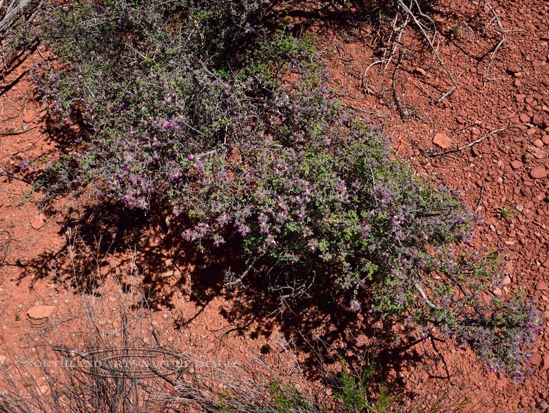 AZ-TS-Dalea Formosa 2019.4.19#641, the Featherplume. Red Rock State Park, Arizona.