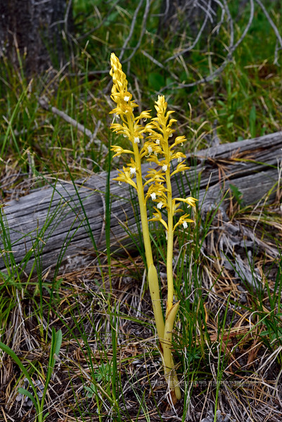 WY-F-Corallorhiza maculata 1,2019.6.21#1793.4x. A yellow form of the  Western Spotted Coral Root Orchid. Teton Forest, south of Yellowstone Park, Wyoming.