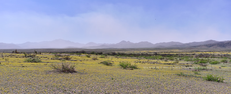 AZ-DS-Desertscape 2018.4.12. Gordon's Bladderpod carpets the desert east of Safford Arizona. A dust storm from Wilcox Playa obscures the Dos Cabezas Mountains.
