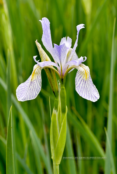 WY-F-Iris missouriensis 2019.6.20#1338, the Rocky Mountain Iris. Tower Junction area, Yellowstone Wyoming.