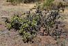 AZ-CTS-Cylindropuntia Whipplei 2018.5.13#026. A Whipple Cholla. Near Jerome, Yavapai County Arizona.