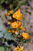 AZ-F-Sphaeralcea species 2019.3.20#067, the Desert Globemallow in an apricot orange form. RT10, Sonoran Desert, South of Phoenix Arizona.