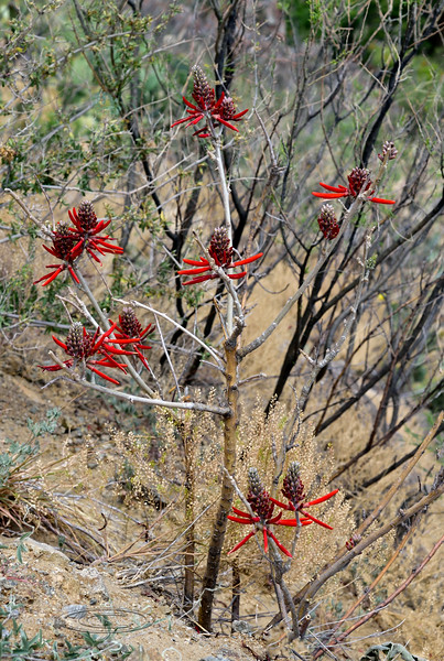 AZ-TS-Erythrina flabelliformis 2019.6.4#129, the Western Coralbean. Santa Rita Mountains, Arizona.