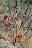 AZ-TS-Erythrina flabelliformis 2019.6.4#129, the Western Coralbean. Santa Rita Mountains, Arizona.