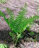 PA-Fern-Osmunda cinnamomea 2012.4.24#112.2. Cinnamon Fern. Bowman's Hill, Bucks County Pennsylvania.
