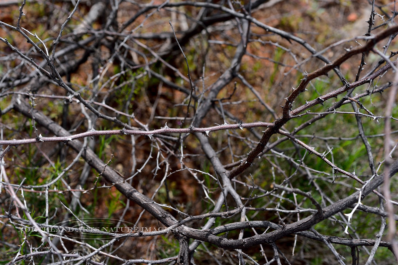 AZ-TS-Mimosa aculeaticarpa biuncifera 2019.4.15, the Wait-A-Minute Bush. Red Rock St. Park, Arizona.