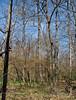 PA-TS-carya ovata 2008.4.17#324.3. Shagbark Hickory. Bowman's Hill, Bucks County Pennsylvania.