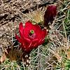 AZ-CTS-Echinocereus coccineus 2016.4.25#279.8. Scarlet Hedgehog. Granite Dells, Yavapai County Arizona.