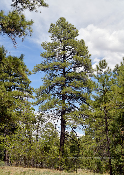 AZ-TS-Pinus ponderosa 2021.5.19#5311.2. A great example of a mature well formed Ponderosa Pine. About 7000 feet near the summit of Mingus Mountain, Yavapai County Arizona.